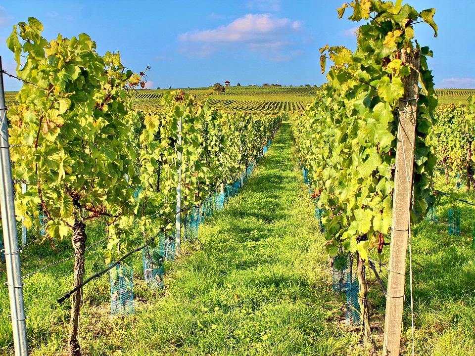 Potatura verde vigneti Teramo - Sfemminellatura Abruzzo Marche